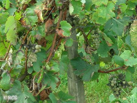 ひょっとして、このブドウでワインを作るのだろうか?・・・ と疑問に思ってしまったブドウ畑