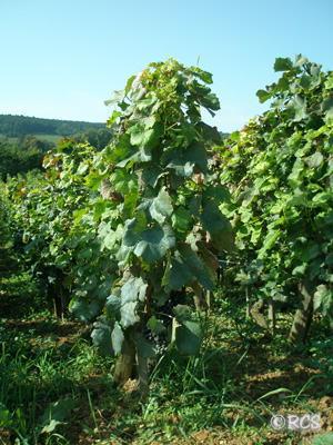 ルロワ社のジュヴレ・シャンベルタンのブドウ畑
