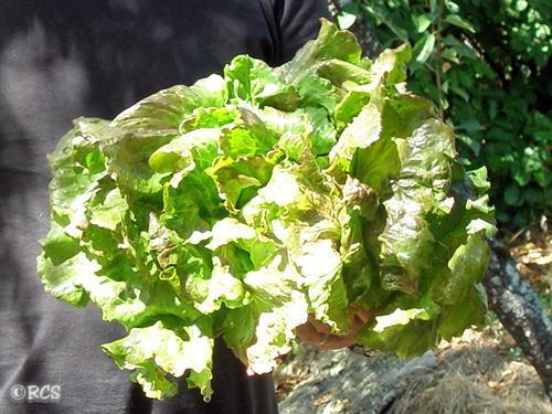 「カミカゼ」という品種のレタス