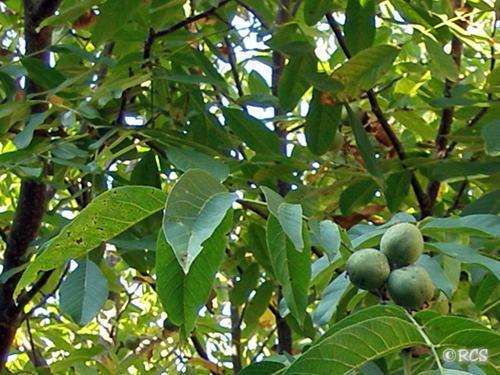 9月初めに撮影したクルミの木