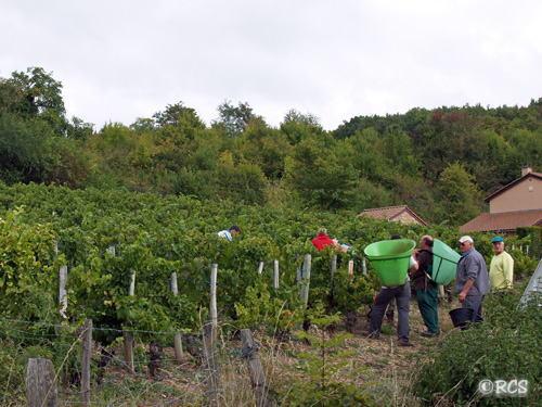 手摘みのブドウ収穫