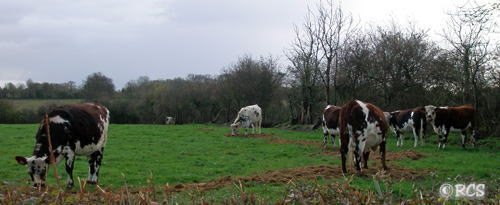 ノルマンディー種の乳牛
