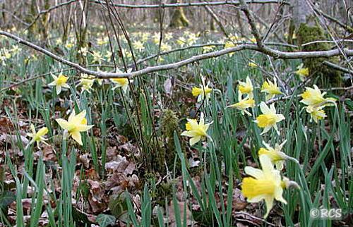 早春のブルゴーニュの森には、野生のスイセンがたくさん咲きます